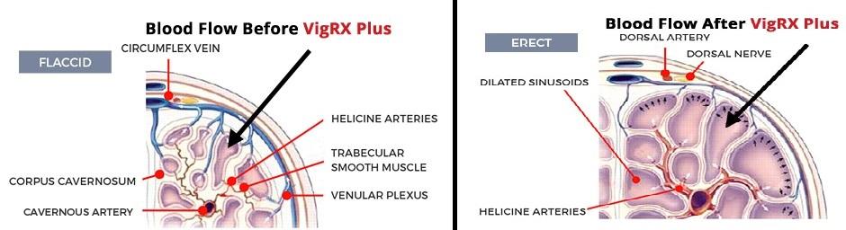 how vigrx plus works